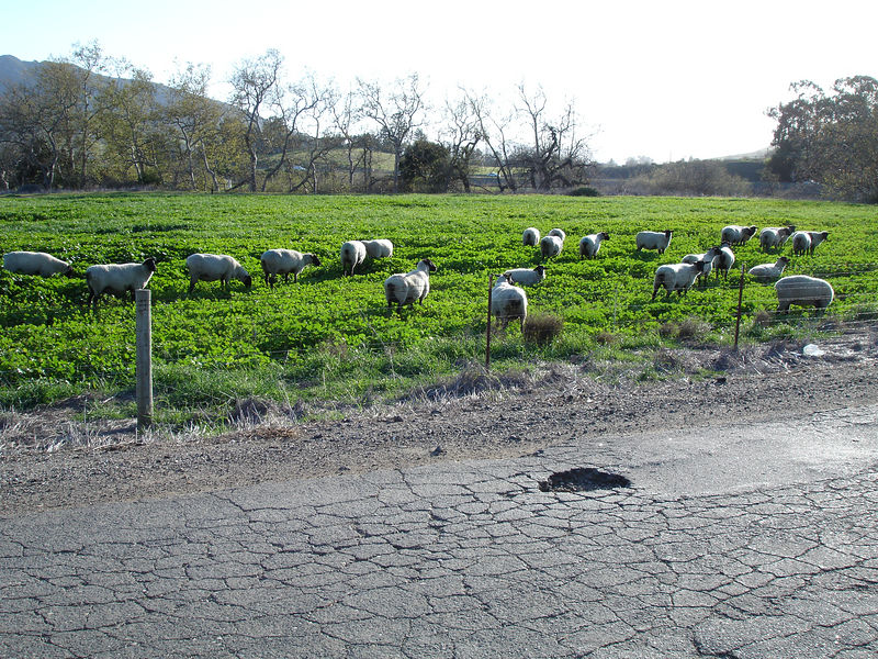 Some seemingly unattended but happy sheep at the Cal Poly farm.