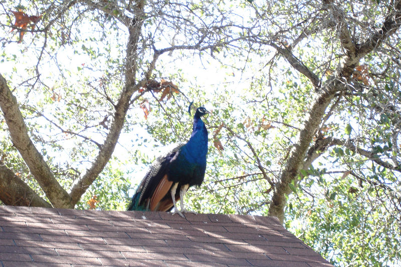 The farm has two pet peacocks that prefer the roofs and trees to avoid the farm's dogs.  I did not realize peacocks could fly.