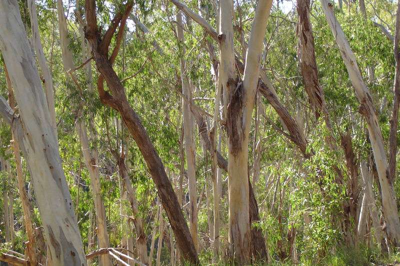 A rather large grove (perhaps 50-100 acres) of eucalyptus trees in Montana del Oro SP