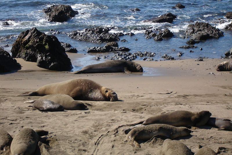 """From top to bottom: A bachelor, dominant male, female, pup.  After nursing for a month, the females return to the sea to feed, leaving behind their """"weanies."""""""