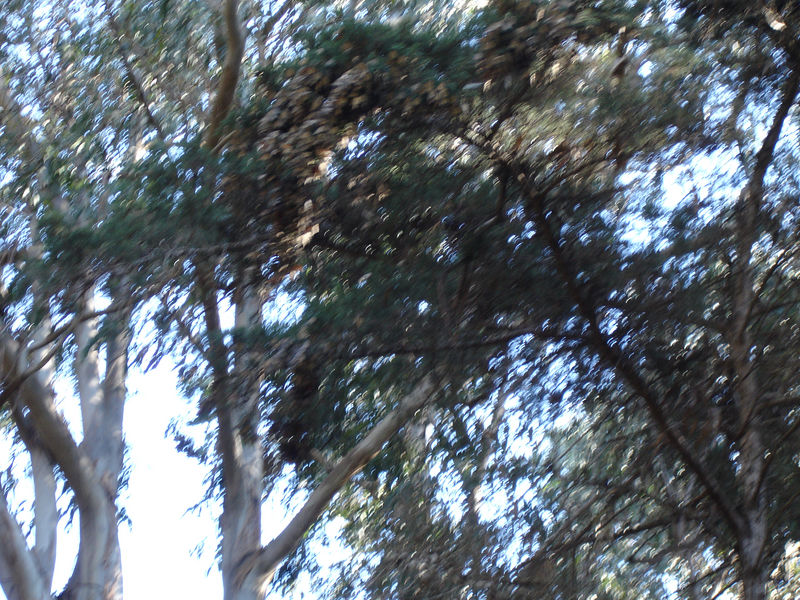 The wind has blurred the image, but the branch at the top middle is covered with butterflies.<br /> A few week earlier all the branches would have been covered.