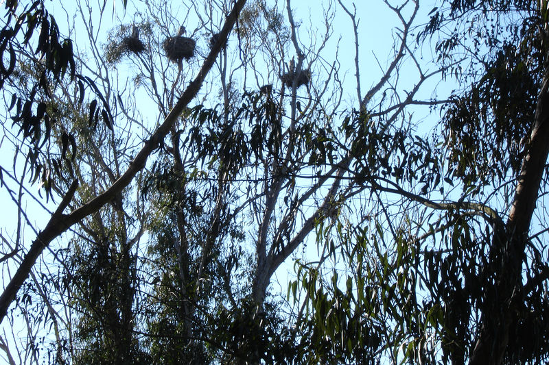 Herons in their nests feeding their young.