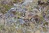 Horned larkspur on nest