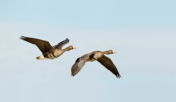 White-fronted Geese pair  in flight