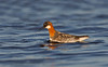 Red-necked Phalarope  female calling