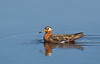 Red Phalarope Male