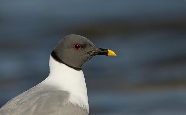 Sabine's gull portrait