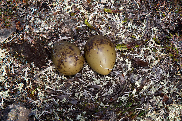 Long-tailed Jaeger nest and eggs