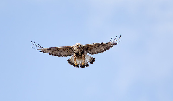 Rough -legged Hawk female in flight