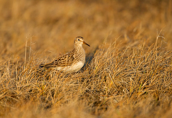 Pectoral Sandpiper in the grasses