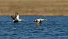 Male common eiders in flight