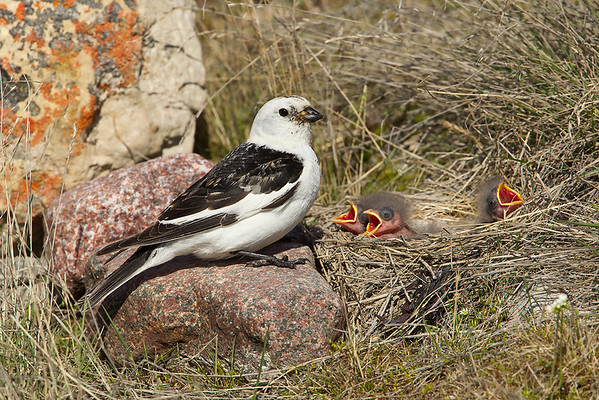 Male snow bunting at nest
