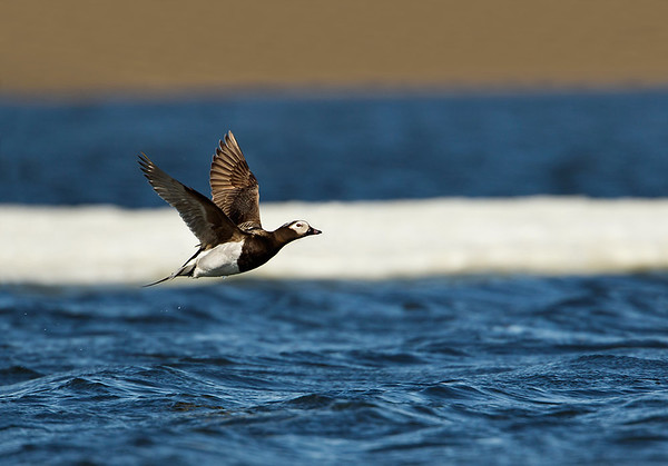 Long-tailed Duck flying off