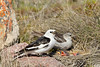 Snow bunting pair at nest