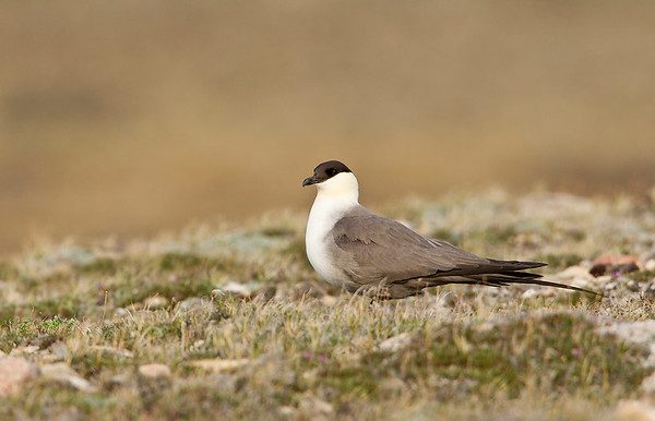 Long tailed jaeger on tundra