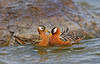Red Phalarope pair interacting