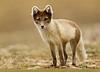 Artic Fox mom posing outside her den