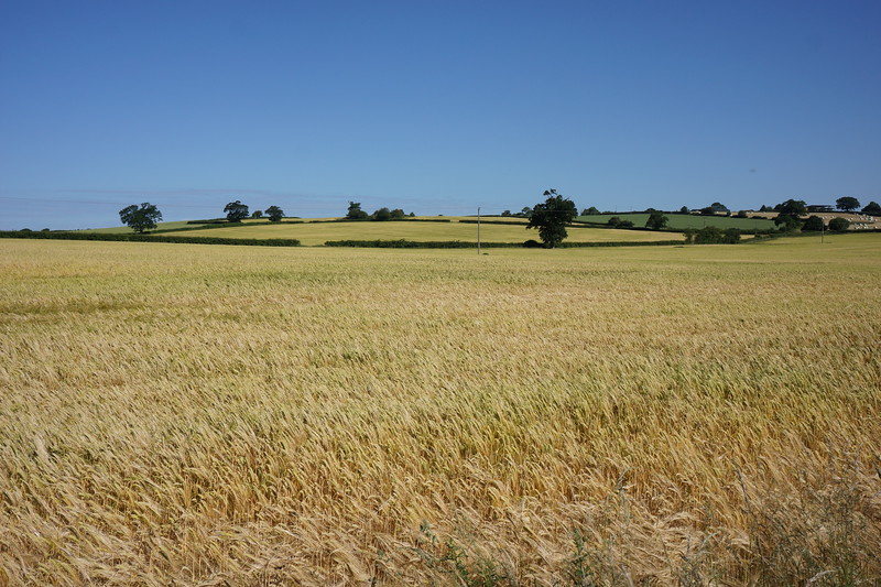 Barley close to harvest near Liverpool
