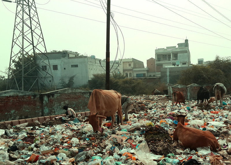 Cows graze on trash in Agra.