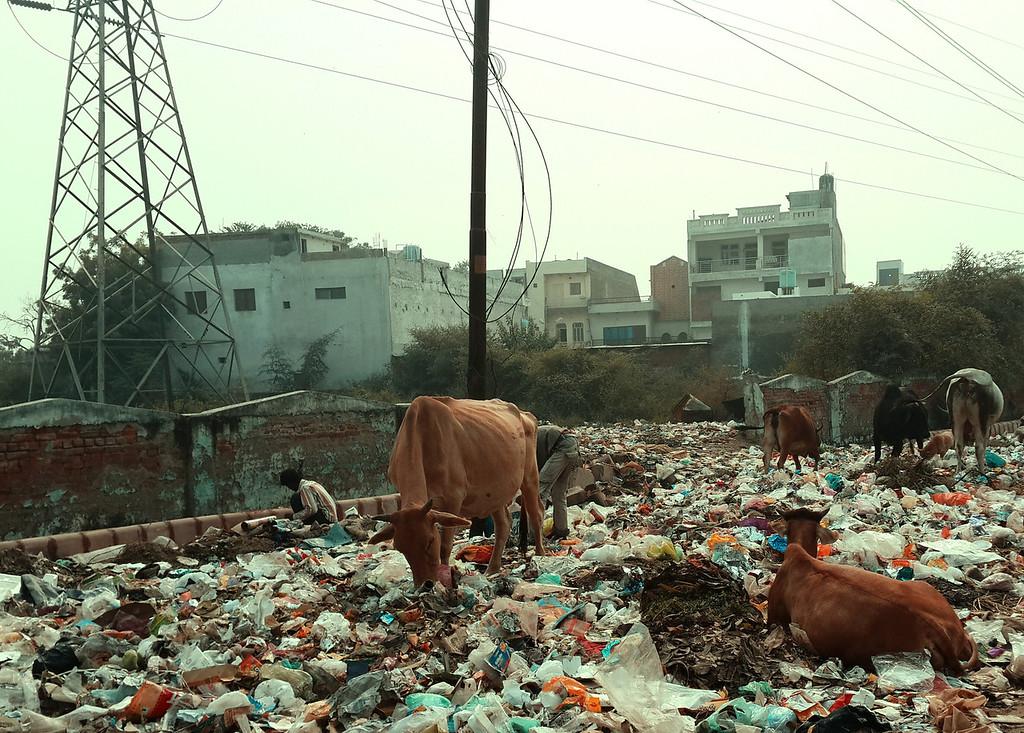 Cows graze on trash in Agra.