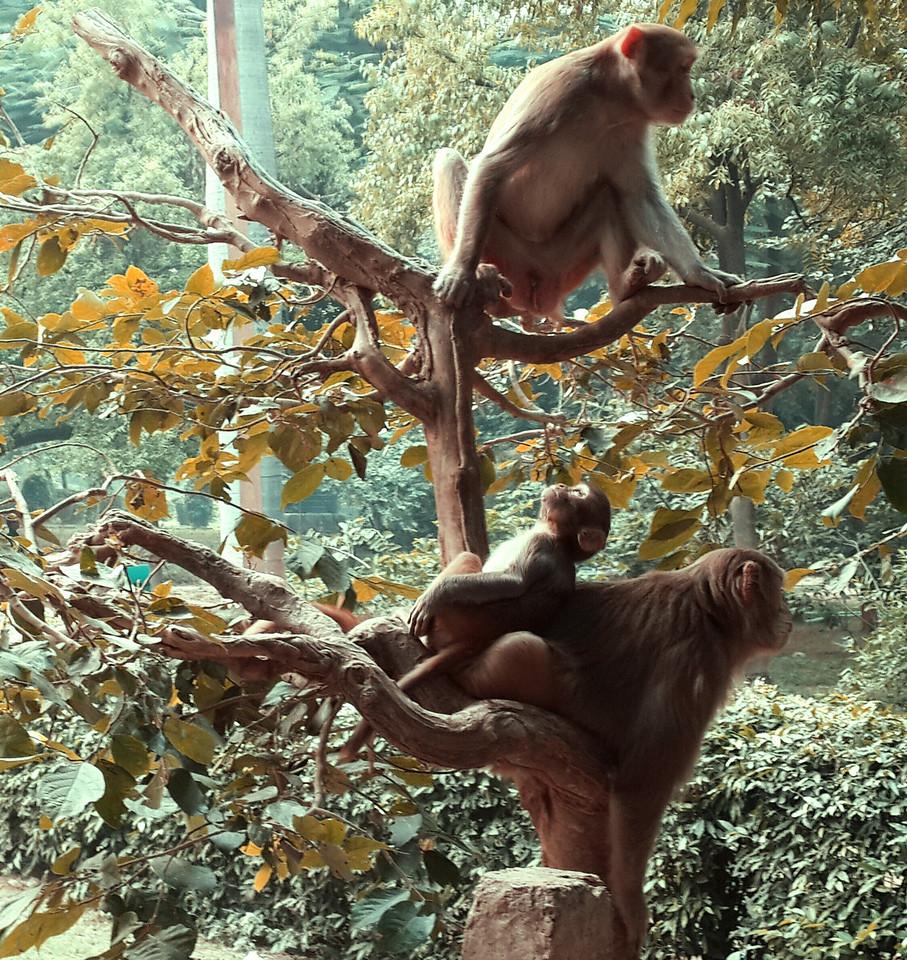 Monkey, just being monkeys...outside of Taj Mahal.