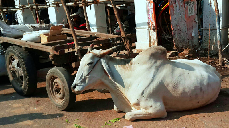 A cow rests in the middle of a busy street in Old Delhi.