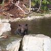Bear at Grouse Mtn