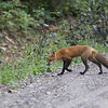 Red fox (Vulpes vulpes) - vos - pretty much the same as in Europe although at least in Canada the foxes have more black in the fur. The more north - the more black