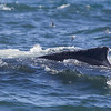 Humpback whales (Megaptera novaeangliae) are regular guests in the Bay of Fundy. These impressive animals grow to 18 meters and weigh up to 40 tons. Humpbacks are famous for their frequent surface displays. Most of the tails, flippers, breaches are of humpbacks