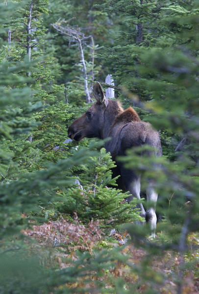 By the time we reached the final part of the skyline loop, it was getting dark fast and twice we ran into a female moose with calf - coming out of the woods now that most tourists were gone. This calf was born this year