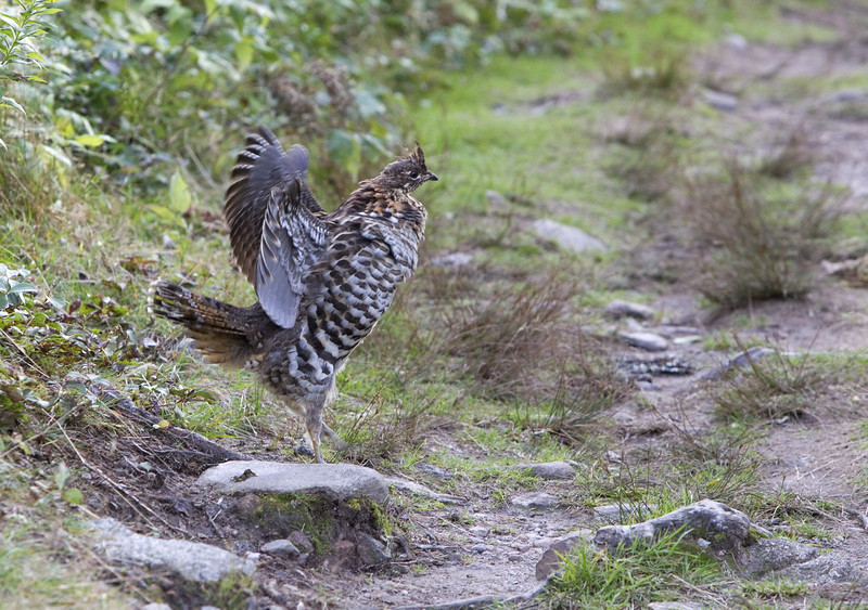 "Ruffed grouse (Bonasa umbellus) - kraaghoen - must have seen us as possible competitors, since this male bird started ""drumming"" - this is typical territorial behavior. Ruffed grouses drum all year round but the frequency is higher during spring."