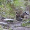 Ruffed grouse (Bonasa umbellus) - kraaghoen - male bird. When walking along the skyline loop in the Cap Breton national park this bird crossed our path, but was very at ease. There are 2 color variations of the tail-feathers, a reddish (as seen here) and a grey form. The grey form is more common in Canada... so we were double lucky to see this red-form