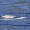 "Belugas or white whale (Delphinapterus leucas) are striking white except when young. The picture shows a calf (starting to get the ""mottled"" skin of an older calf) and 2 adult whales."
