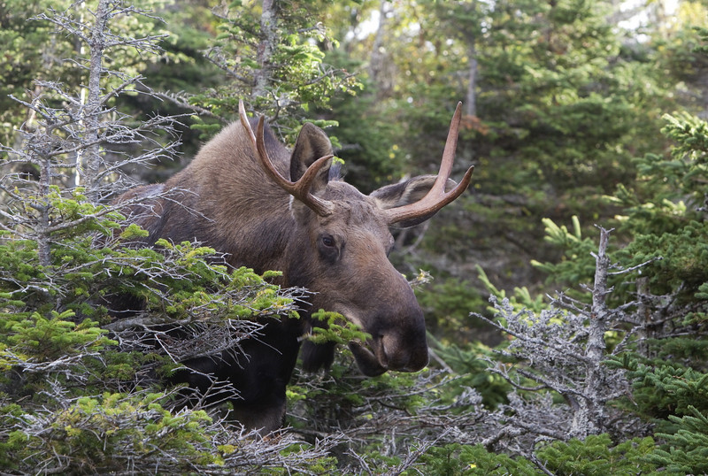 Moose enjoying a spruce tree - its ears forward - not showing any sign of stress because of our presence