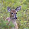 white-tailed deer (Odocoileus virginianus) calf in Parc du Bic