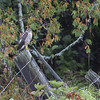 "Sharp-shinned Hawk (Accipiter striatus) - Amerikaanse sperwer - one of our first interesting observations. The weather was rather ""dreary"" which may explain why this sharpie wasn't too eager to fly. Seen in the neighborhood of Baie St Paul, one of the first stops along the north rim of the St Lawrence once we left Quebec City."