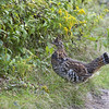 Ruffed grouse (Bonasa umbellus) - kraaghoen - after establishing its rights over the territory it calmly walked away re-assured in its dominance over this piece of territory
