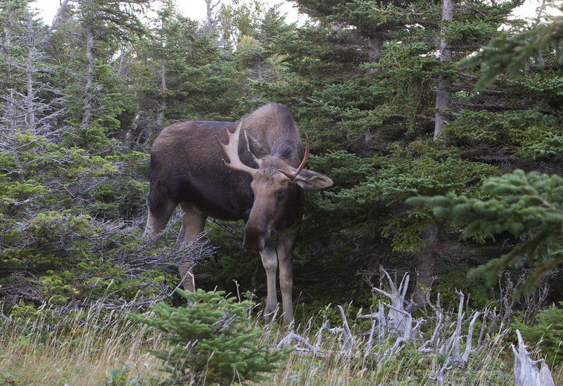 At this close range, a moose is a huge and incredibly impressive animal - standing almost 3 meters high