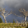 Reaching trees - birch trees deformed by wind and cold