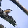 Red-breasted Nuthatch (Sitta canadensis) - typical nuthatch of the Canadian forests