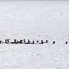 surf scoters (Melanitta perspicillata) - Brilzeeëend