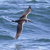 We made our second whaling trip from Long Island (near Digby) on the Bay of Fundy. Fairly soon after we left port, we saw these Great Shearwaters (Puffinus gravis) - grote pijlstormvogel. These birds are impressive migrants. From their breeding grounds in the South Atlantic (e.g. Tristan da Cunha), they fly north along the Americas, cross over to the other side of the Atlantic and fly back south along Africa... phenomenal distance !