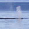"Impressive animals the fin whale (Balaenoptera physalus) - gewone vinvis - Whales can also be recognized by the size and shape of the spout. Minke's typically have no visible spout - fin whales however ... the spout is actually created by the difference in temperature between the whale's body and the cold north Atlantic water (so, it is not water, but rather ""vapor"")"