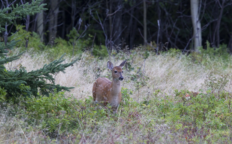 "A ""bambi-calf"" of white-tailed deer (Odocoileus virginianus) - the little one had been hiding in the forest, but at the calling of its mother, it came out"