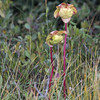 Pitcher-Plant (Sarracenia purpurea) - bekerplant - a carnivorous plant typical of the bogs on Cap Breton.