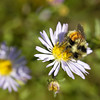 September in Canada is characterized by thousands and thousands of blooming asters. This one being visited by a bumble-bee