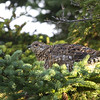 Female Spruce Grouse or Canada Grouse (Falcipennis canadensis) - bossneeuwhoen. The bird was feeding on a spruce tree - fully in line with its name