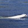 Belugas or white whale (Delphinapterus leucas)