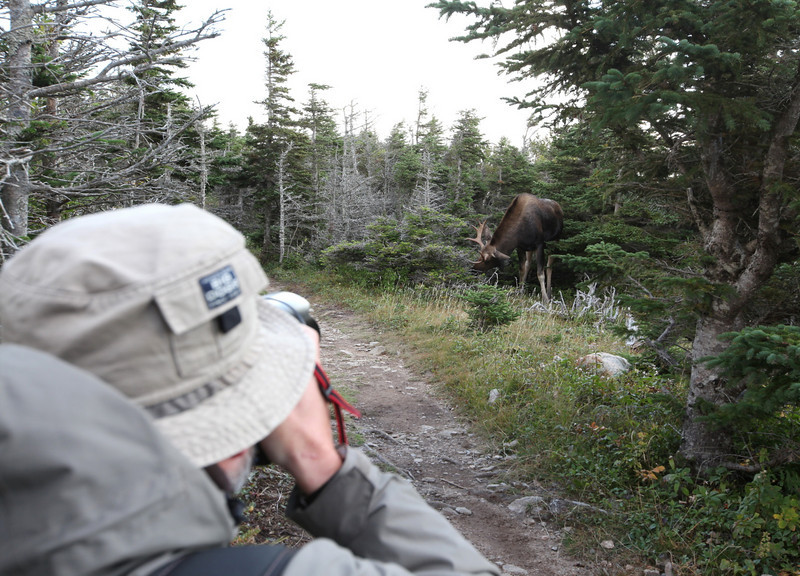 The skyline loop is one of the best places in Cape Breton to see moose. The loop is about 9 km and we had been walking for 2 hrs without seeing anything - well, at least no moose - when suddenly we stood almost eye-to-eye with two young bulls