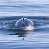 northern minke whale (Balaenoptera acutorostrata) - dwergvinvis -